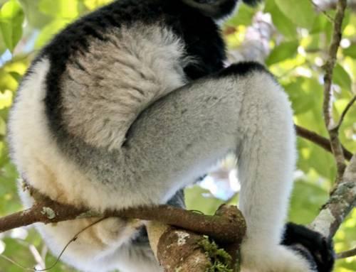 Madagascar #9 – Indri Indri and Lemur Island.