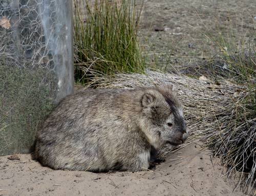 Tasmania #4 – Seals, pademelons and wombats